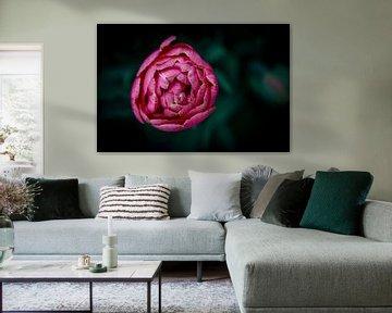 Fleur rose sur shanine Roosingh