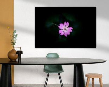 Rosa Blume mit dunklem Hintergrund von Miranda Palinckx