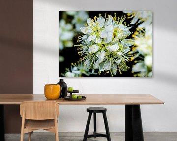 Blüte des Schlehdorns auf dunklem Hintergrund. von GiPanini