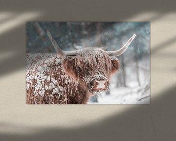 Schottische Hochlandkuh im Schnee in einem Wald im Winter von Sjoerd van der Wal