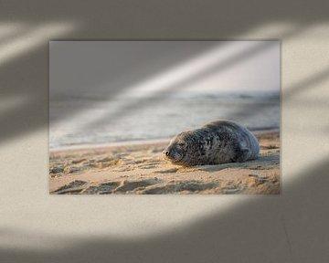 Zeehond aan het strand van Thom Brouwer