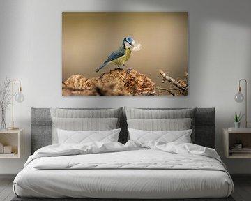 Mésange bleue avec instinct de nidification