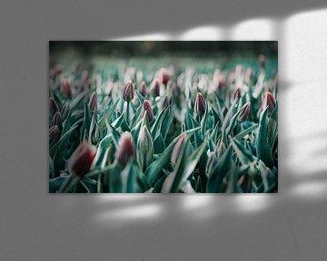 Tulpen in de ochtend van Miranda Snoeijen