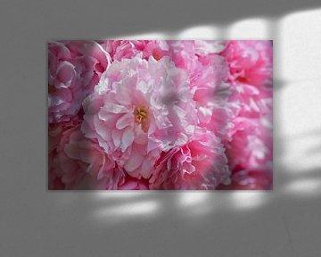 Amai wat een heerlijk lente gevoel met roze bloesems van J..M de Jong-Jansen