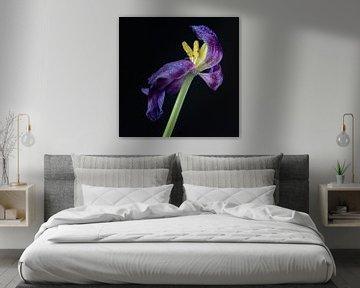 Blühende lila Tulpe von Jefra Creations