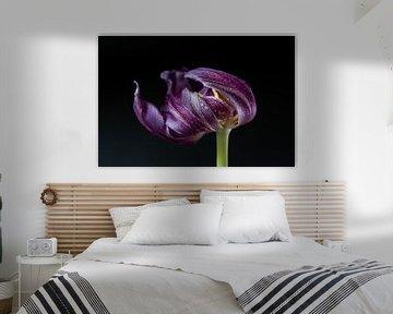 Blühende lila Tulpe mit Tropfen von Jefra Creations