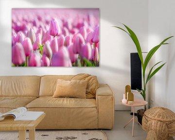 Schöne rosa Tulpen in voller Blüte von Chihong