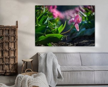 Rosa Tulpe ausgezeichnet im Tulpenfeld von Chihong