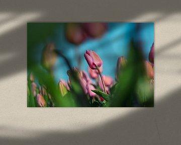 Rosa Tulpen auf einem Tulpenfeld von Chihong