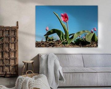 Holländische Tulpen in einem Tulpenfeld im Zwiebelanbaugebiet von Chihong
