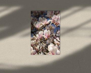 Magnolia boom vol in bloei van Eveline Fotografie