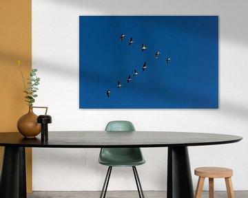 Ganzen in vogelvlucht tegen een blauwe lucht in de polder. van Eyesmile Photography