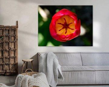 Tulpe von oben