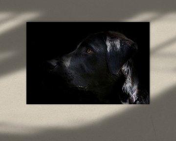 Schwarzer Labrador mit schwarzem Hintergrund von Arthur Hooijer
