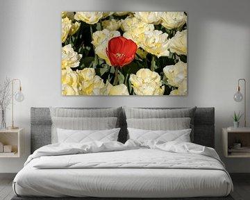 Rode tulp tussen gele siertulpen