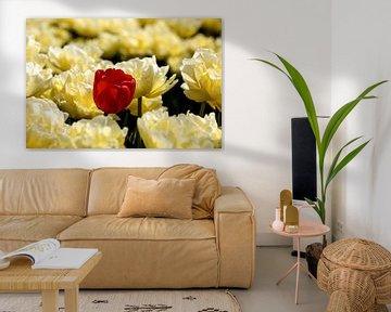 een rode tulp tussen gele tulpen