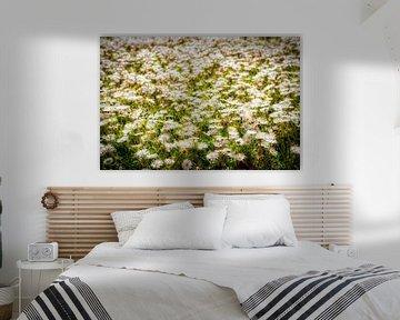 Blumenwiese mit vielen blühenden Gänseblümchen im Frühling mit Weichzeichner und Bokeh von Dieter Walther