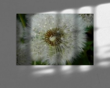 Federleichte Pusteblume von Heidemarie Andrea Sattler
