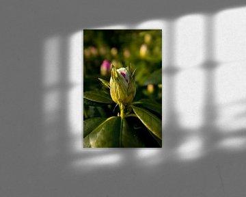 botanisches Bild eines Rhododendrons | Fine Art Naturfoto von Karijn | Fine art Natuur en Reis Fotografie