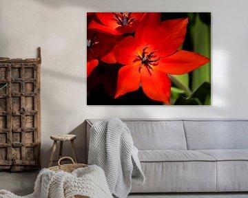 Rode bloem scherp van Martijn Tilroe
