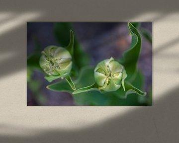 Nahaufnahme von weißen Tulpen von Margreet Frowijn