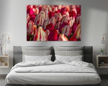 Wit met rode tulpen