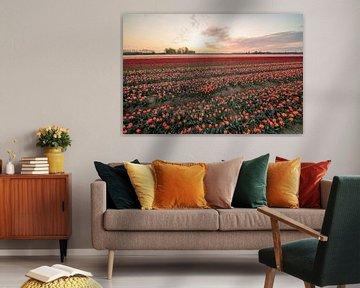 Felder mit Tausenden von Tulpen