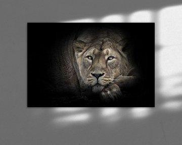 Lunar Löwin ruhig schaut voraus liegend mit dem Kopf auf ihre Pfoten ruhige Ruhe einer schönen Löwin von Michael Semenov