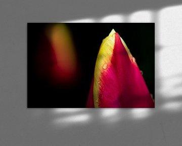 Tulpe mit Regentropfen von Ton de Koning
