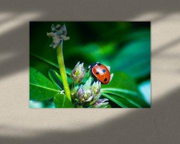 Lieveheersbeestje op een plant van RedRoseFotografie