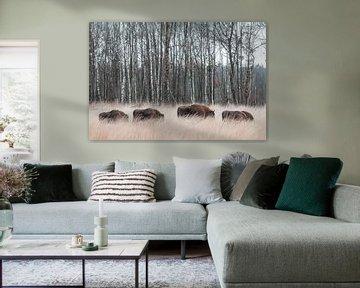 Kudde bizons in het hoge gras | Wisent savanne landschap Maashorst Nederland