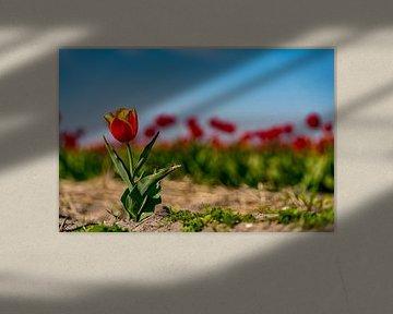 Tulipes sur Texel