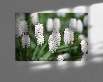 witte/ blauwe druifjes muscari van Lindy Schenk-Smit
