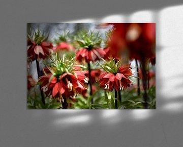 Keizerskroon (Fritillaria imperialis) van Lindy Schenk-Smit