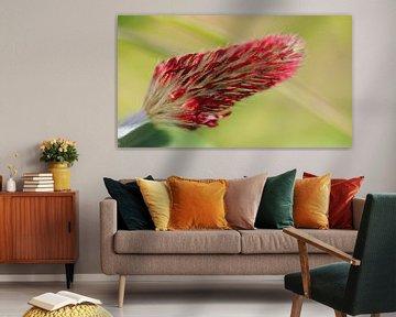 Inkarnaatklaver (Trifolium incarnatum) van Beatrice Heinze