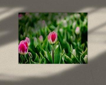 Tulpe in der Farbe rosa von Photography by Naomi.K