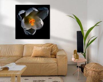 Weißer Krokus in Blüte von A.M. de Jong