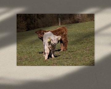 Kalveren van het Schotse hoogland vee van Harald Schottner