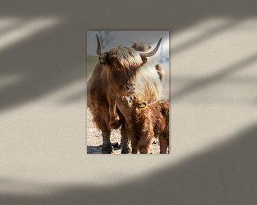 Schotse hoogland runderen, kalf met moeder van Harald Schottner