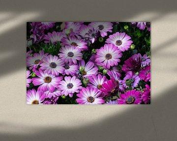 Spanische Gänseblümchen von Klaartje Majoor