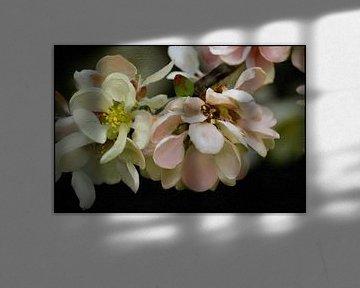 Blüten - Quittenblüte von Christine Nöhmeier