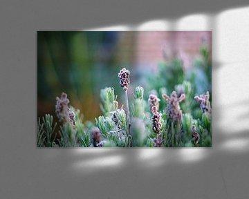 Lavendel von Sabine Bouwmeester