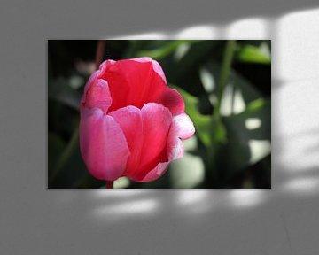 Rosa Tulpe 2 von Gabrielle van Rhenen