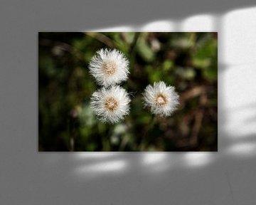 Uitgebloeide paardebloemen 2 van Percy's fotografie