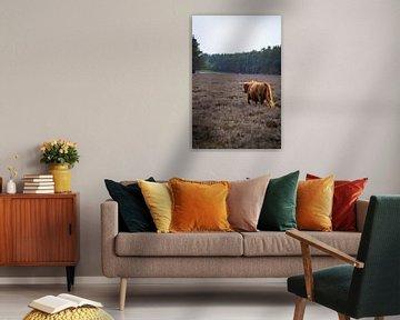 Schottische Highlander, Wezepsche Heide von S van Wezep