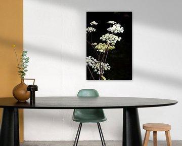 Weißer Doldenblütler auf schwarzem Hintergrund von Bianca ter Riet