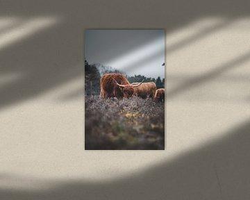 Schotse Hooglanders,  Wezepsche Heide van S van Wezep