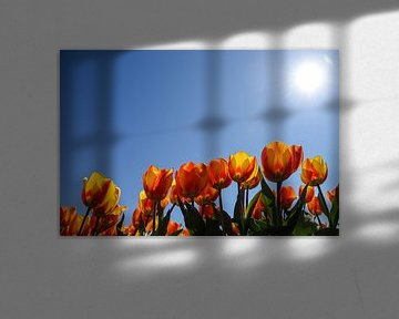 Oranje tulpen vanuit laag perspectief. van Bert de Boer