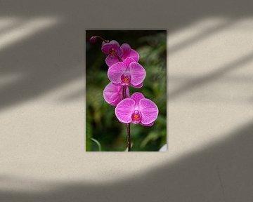 Schöne rosa Orchidee Blume Isoliert mit unscharfen Hintergrund von Mohamed Abdelrazek