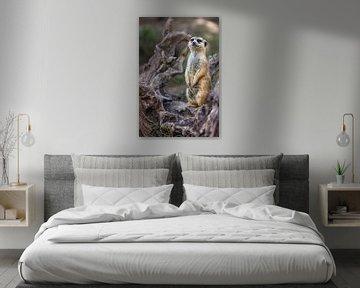 Porträt von Single Erdmännchen oder Suricate stehend mit unscharfen Hintergrund von Mohamed Abdelrazek